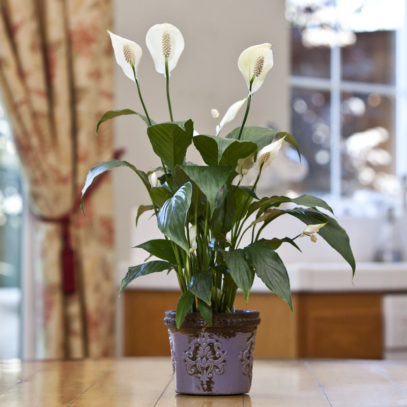 potted-peace-lily
